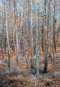 Birches, Czech Republic